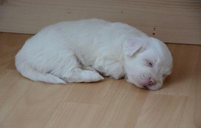 puppy-sleeper-2646022_1280